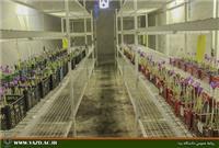خبر-گلخانه کشت بدون خاک زعفران در دانشگاه یزد  به گل نشست